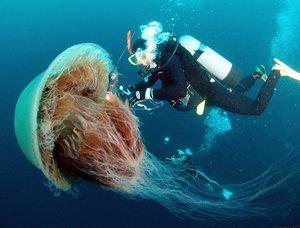 медуза гигантская фото