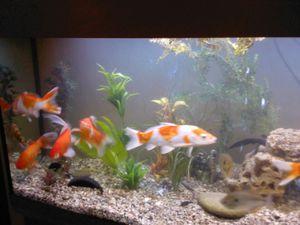 кои в аквариуме содержание