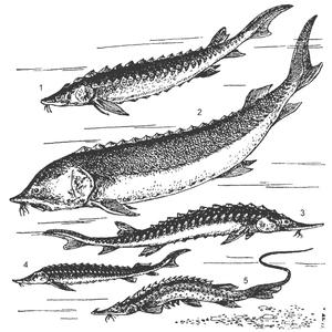 виды осетровых рыб фото