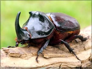 Внешний вид жука носорога