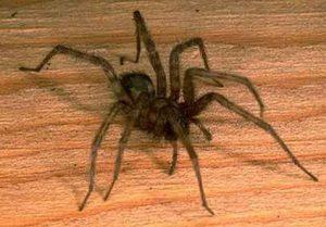Какие пауки появляются в доме