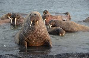 На фото - колония моржей на отдыхе