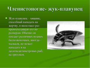 Внешний видд жука плавунца