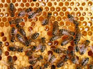 Пчелиная сота – уникальное сооружение
