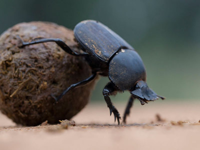 Помет животного жук навозник землеройка лиса