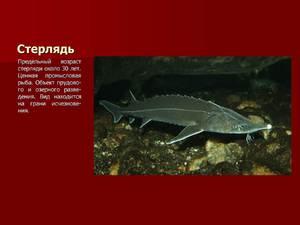 рыба стерлядь фото и описание