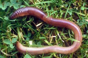Дождевой червь: роль в природе