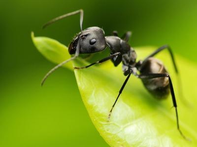 Муравьи: это животное или насекомое, виды, строение и описание