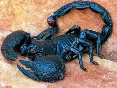 Императорский скорпион в домашних условиях