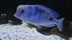 Рыбка для аквариума — цихлида