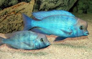 Цихлида или голубой дельфин — красивая рыбка