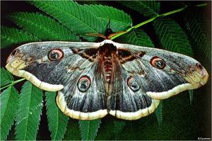 Где обитает бабочка павлинеглазка