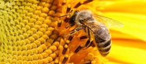 Как быть при укусе пчелы