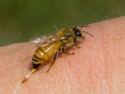 Яд пчелиный: неоценимая польза для здоровья человека Бочка Мёда
