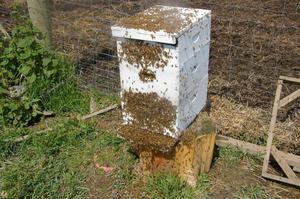 Почему роятся пчелы?