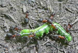 Муравьи всеядны - питаются падалью, белковой и растительной пищей
