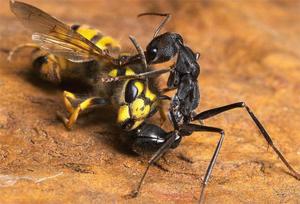 Муравьи могут поедать насекомых, намного превосходящих их по размеру и силе