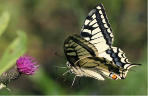 Описание бабочки махаон 67