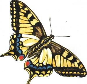 Описание бабочки махаон 23