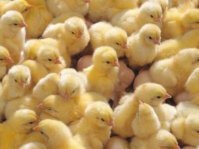 Как лечить и предотвратить болезни цыплят