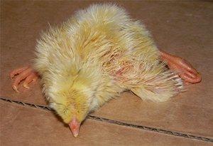 Курчавые пальцы цыплят