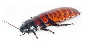 madagaskarskie shipyaschie - Мадагаскарские шипящие тараканы: описание насекомых, размножение, условия содержания в домашних условиях