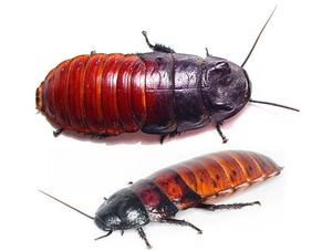 raznovidnosti madagaskarskih - Мадагаскарские шипящие тараканы: описание насекомых, размножение, условия содержания в домашних условиях