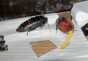 razmnozhenie madagaskarskih - Мадагаскарские шипящие тараканы: описание насекомых, размножение, условия содержания в домашних условиях