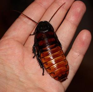 madagaskarskiy shipyaschiy - Мадагаскарские шипящие тараканы: описание насекомых, размножение, условия содержания в домашних условиях