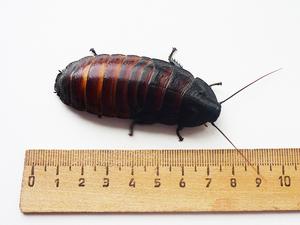 dlina madagaskarskogo shipyaschego - Мадагаскарские шипящие тараканы: описание насекомых, размножение, условия содержания в домашних условиях