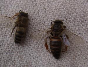 Признаки болезни у пчел