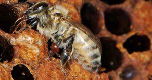 Гнильцовые болезни пчел