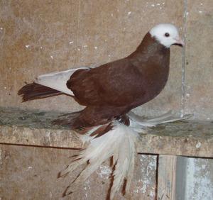 порода голубей с перьями на лапах