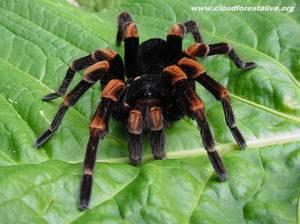 Ядовитый паук тарантул