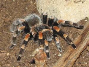Как выглядит тарантул