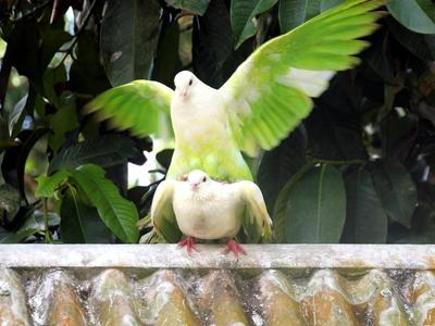 Когда голуби несут яйца