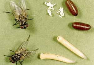 Что едят мухи
