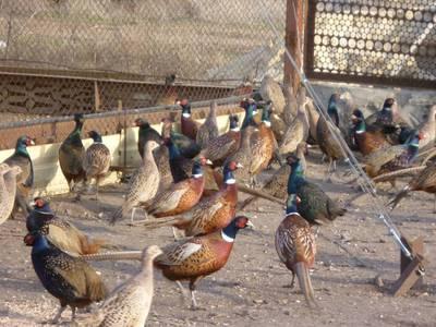 Содержание фазанов в домашних условиях, разведение фазанов, содержание в домашних условиях