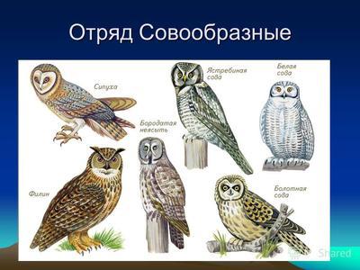 Все про сов сипуха сова-малышка и другие виды