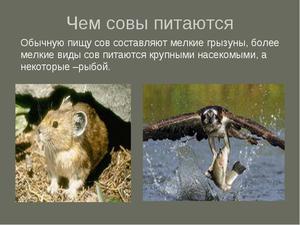 Как выводяит сова совят