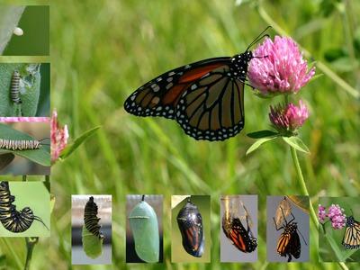 Сколько может жить бабочка на природе и в домашних условиях