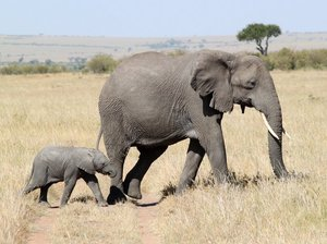 Как протекает беременность слонов