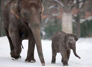 Сколько длится беременность у слонов