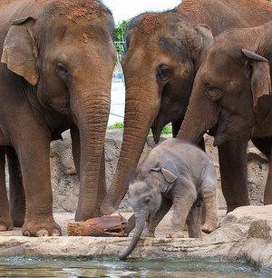Особенности размножения слонов - интересные факты