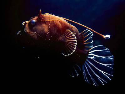 Глубоководная рыба морской черт