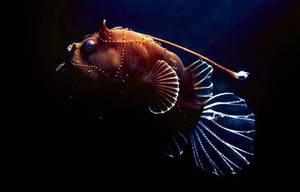 Рыбы - глубоководные удильщики