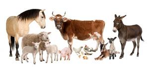 Заболевания скота
