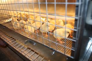 Препарат биомицин для цыплят