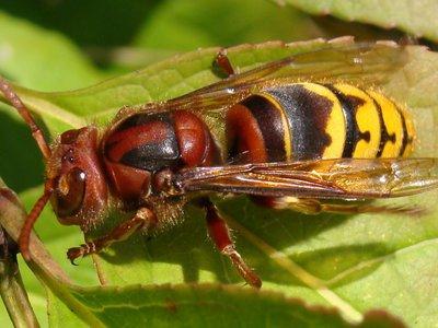 Кто такие шершни: опасность этих насекомых для человека, виды шершней и описание, где зимуют и чем питаются