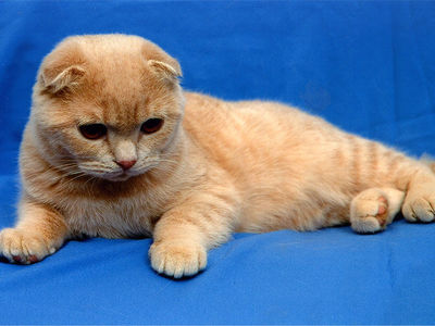 Уход за шотландским вислоухим котенком, харакетр